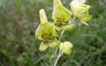 Aconitum anthora