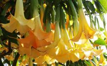Brugmansia aurea