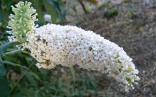 Buddleia albiflora