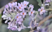 Buddleja japonica