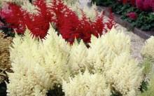 Разноцветье астильбы