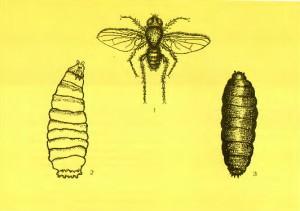Большая нарциссовая муха