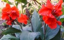 Канна: посадка и выращивание в открытом грунте