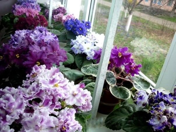 Цветущие фиалки на окне