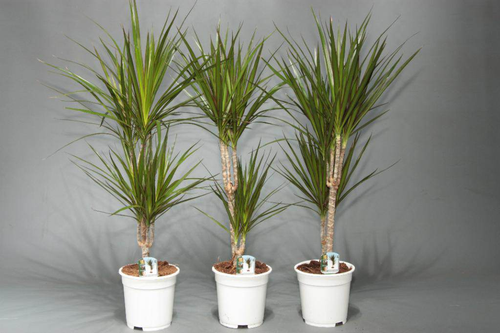 Пальмы и драцены в домашних условиях 101