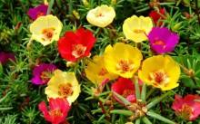 Портулак крупноцветковый и овощной: правила посадки и ухода
