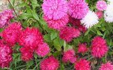 Астра — цветок для начинающих садоводов и не только