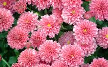 Хризантемы: посадка, уход и лучшие сорта
