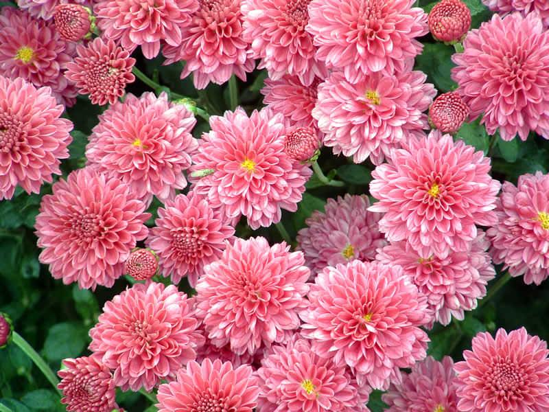 Розовые зризантемы