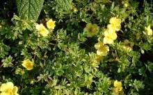 Выращивание лапчатки кустарниковой и уход за ней