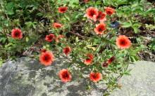 potentilla nepalensis