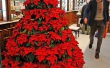 Как ухаживать за пуансеттией — рождественской звездой?