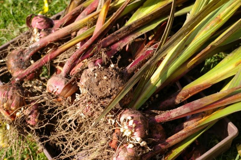 Луковицы гладиолуса