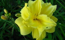 Hemerocallis Double Cutie