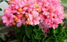 Каланхоэ: лечебные свойства и противопоказания, уход и размножение
