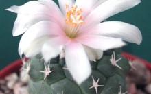 Turbinicarpus tophophoriodes