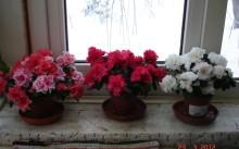 Азалии на окне