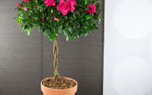 Азалия деревом