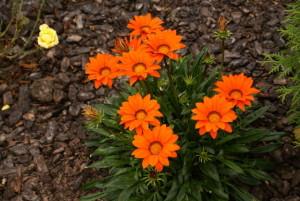 Газания оранжевая