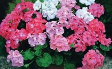 Три цвета герани