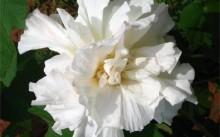 Гибискус махровый белый