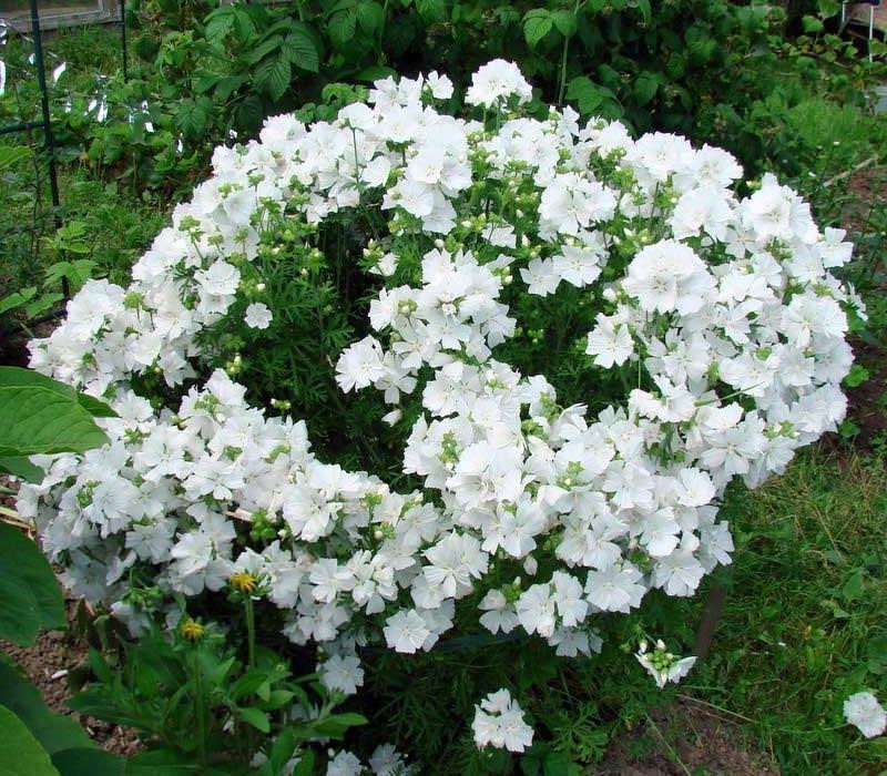 Цветы невеста садовые выращивание 9