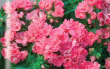 Промис Розовый
