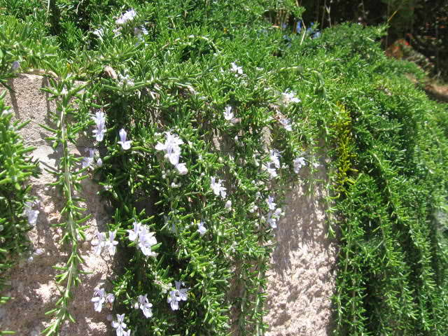 Выращивание роз и уход за розами 456