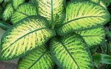 Диффенбахия: виды, как ухаживать за ней и почему могут желтеть листья?