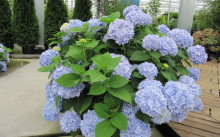 Hydrangea macrophylla `Endless Summer