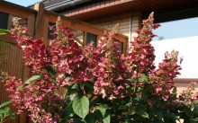 Hydrangea paniculata 'Wim's Red
