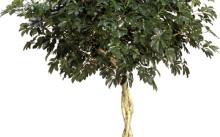 Schefflera Arboricola Braid Tree