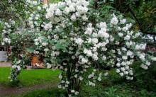 Чубушник (садовый жасмин)