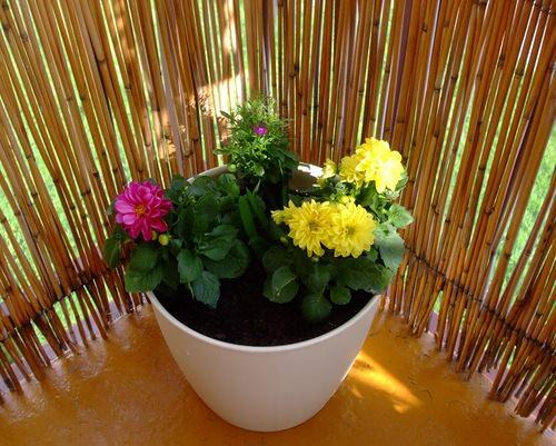 Георгины комнатные выращивание и уход 9