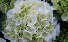 hydrangea macrophylla white ball