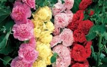 Карнавал шток-роза