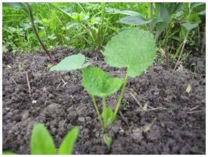 Выращивание в открытом грунте из семян