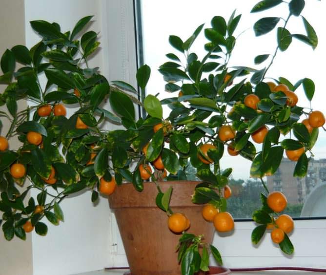 Как ухаживать за домашним мандарин в домашних условиях 363