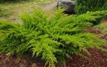 Можжевельник в открытом грунте: посадка и уход, болезни и вредители. 3 популярных сорта