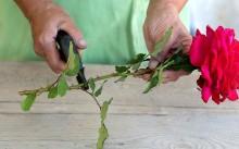 5 способов выращивания розы из черенка