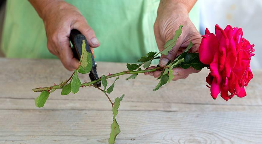 Как правильно сажать срезанные розы 74