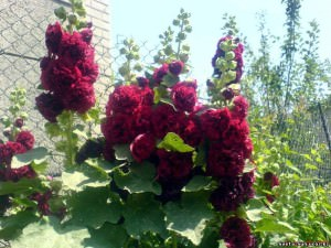 Шток-роза бордовая