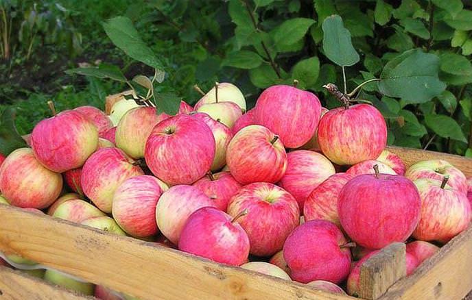 фото яблоня штрифель