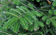 abies-koreana-piccolo