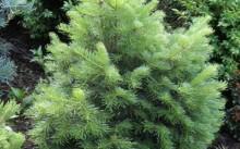 abies-lasiocarpa-green-globe
