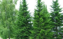 abies-sibirica