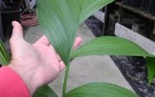 chamaedorea arenbergiana