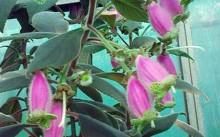 Kohleria digitaliflora