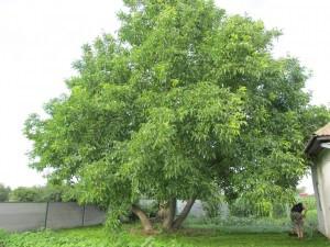 Дерево грецкого ореха