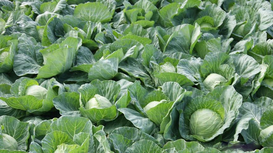 Технология выращивания ранней капусты 90